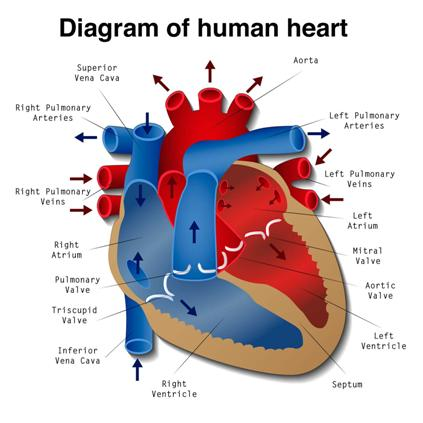237191-diagram-of-the-human-heart